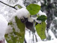 Snowday_lemon